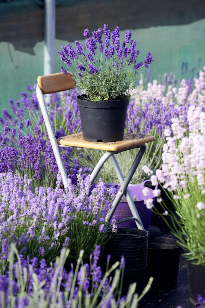 Lavendel bewirkt Wohlgefühl und Irlaubsstimmung