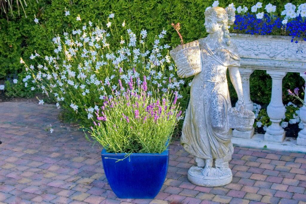 Lavendel ist auch für die Pflanzung in Töpfen oder Kübelen geeignet. Man muss hier jedoch regelmäßig giessen. Foto: Helix.jpg