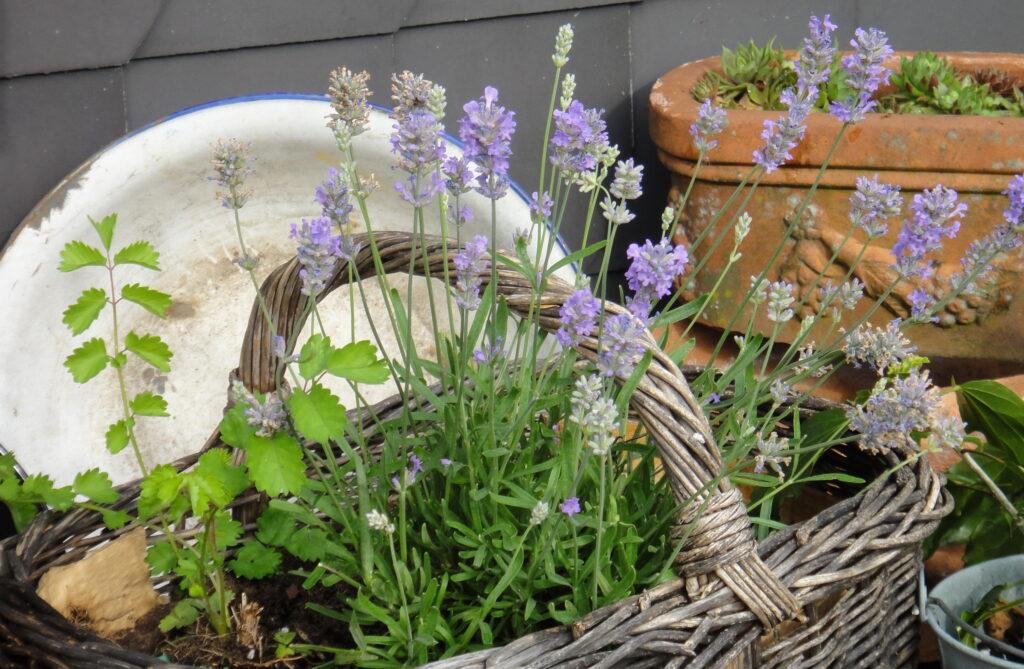 Kleinwüchsige Lavendelsorten eignen sich auch für den Balkon.
