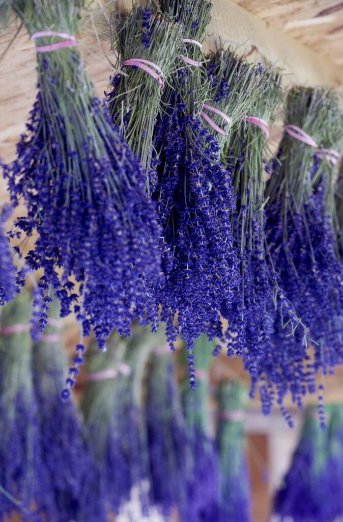 Lavendel in Büscheln zum Trocken aufgehängt